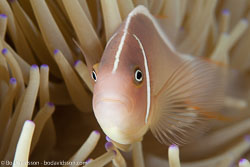 BD-140322-Panglao-3163-Amphiprion-perideraion.-Bleeker.-1855-[Pink-anemonefish.-Vitpannad-clownfisk].jpg